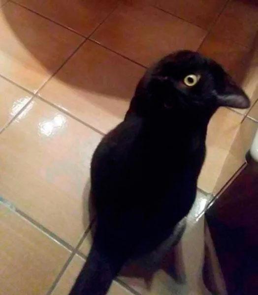 Ворона или кот вот в чем вопрос