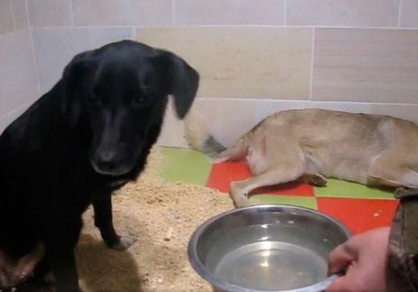 Собачья любовь. Пес не отходил от раненой подруги несколько дней
