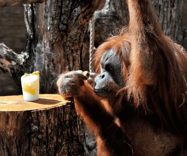 орангутанг ест мороженное