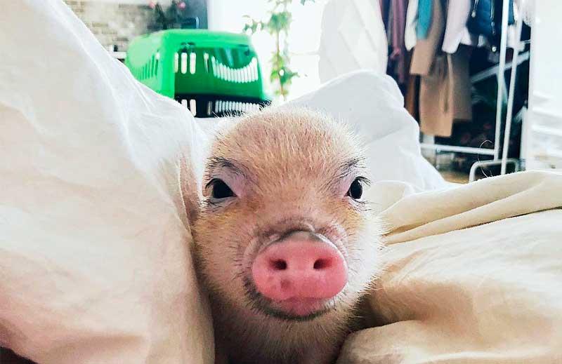 Стоит ли заводить мини-пига в год свиньи