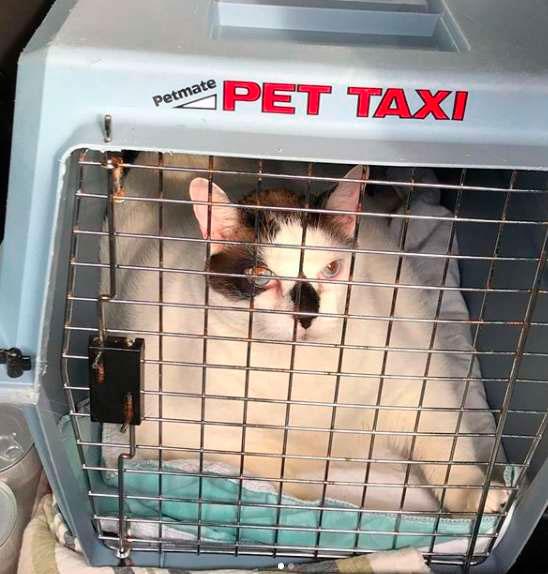 Для перевозки кота сотрудникам пришлось поискать перевозку, в которую он смог бы влезть