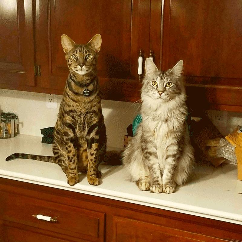 А вы видели самый длинный хвост у кота? мейн-кун, саванна
