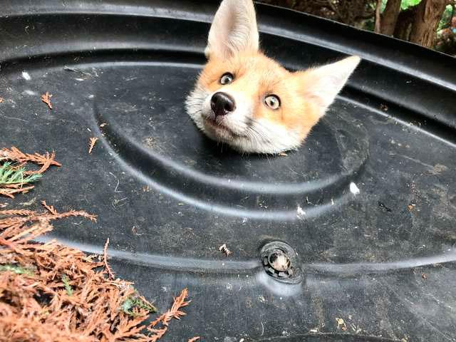 Девушка сделала прорезь в крышке, и смола освободить лиса