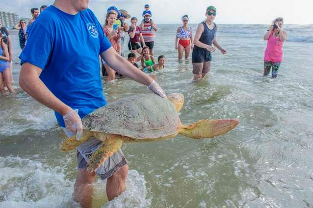 Через месяц реабилитации черепаху выпустили в море