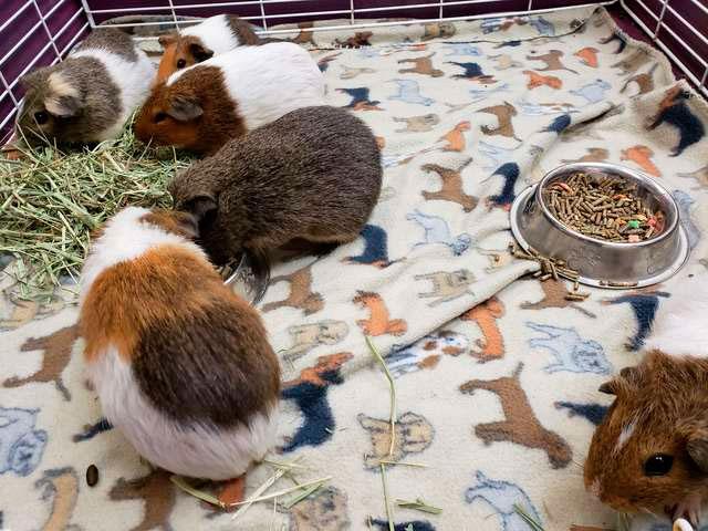 35 морских свинок в коробке приютили в одном из приютов
