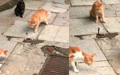Видео. Кошки напали на кобру