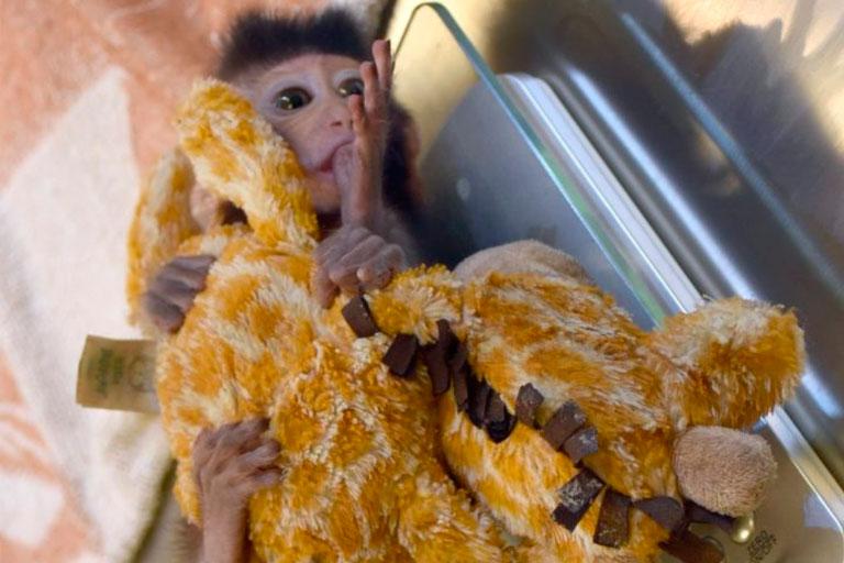 Игрушечный жираф стал мамой для маленькой обезьянки