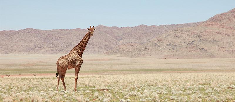 Жирафы спять критично-малое время
