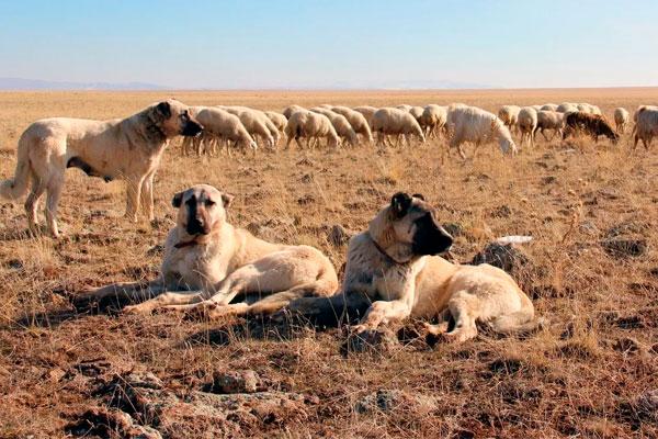 Анатолийская овчарка, кангал фото, описание породы, история, характер, содержание и уход