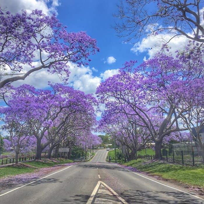 Brisbane - Jacarandas - Goodna 02