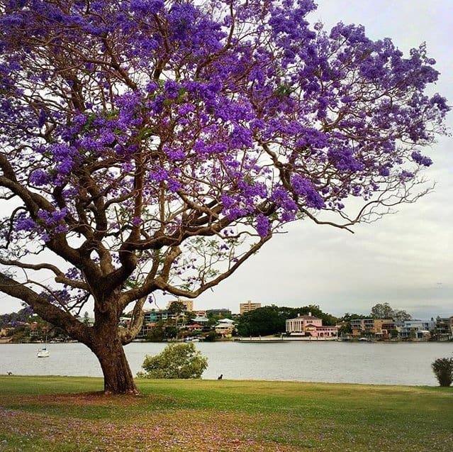 Jacaranda trees in Brisbane on the River Walk in New Farm