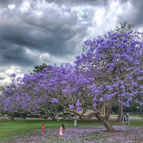 Jacaranda Trees in Brisbane - UQ