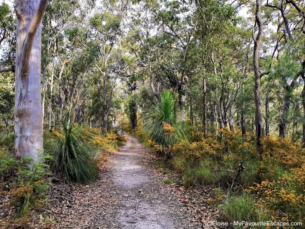 Path in the forest with yellow and and bacon plant on the side on the Gheerulla Valley Circuit in Mapleton National Park
