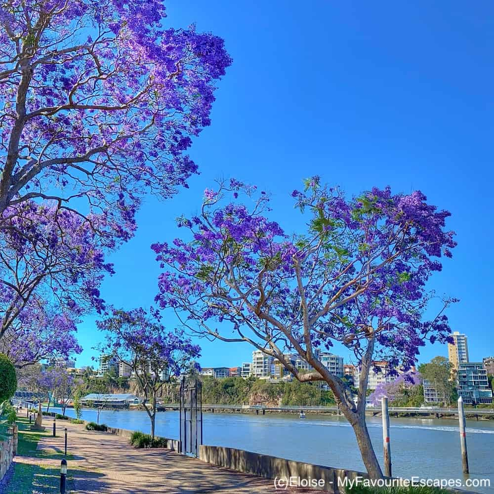 Series of jacaranda trees in Brisbane, next to the river in Kangaroo Point