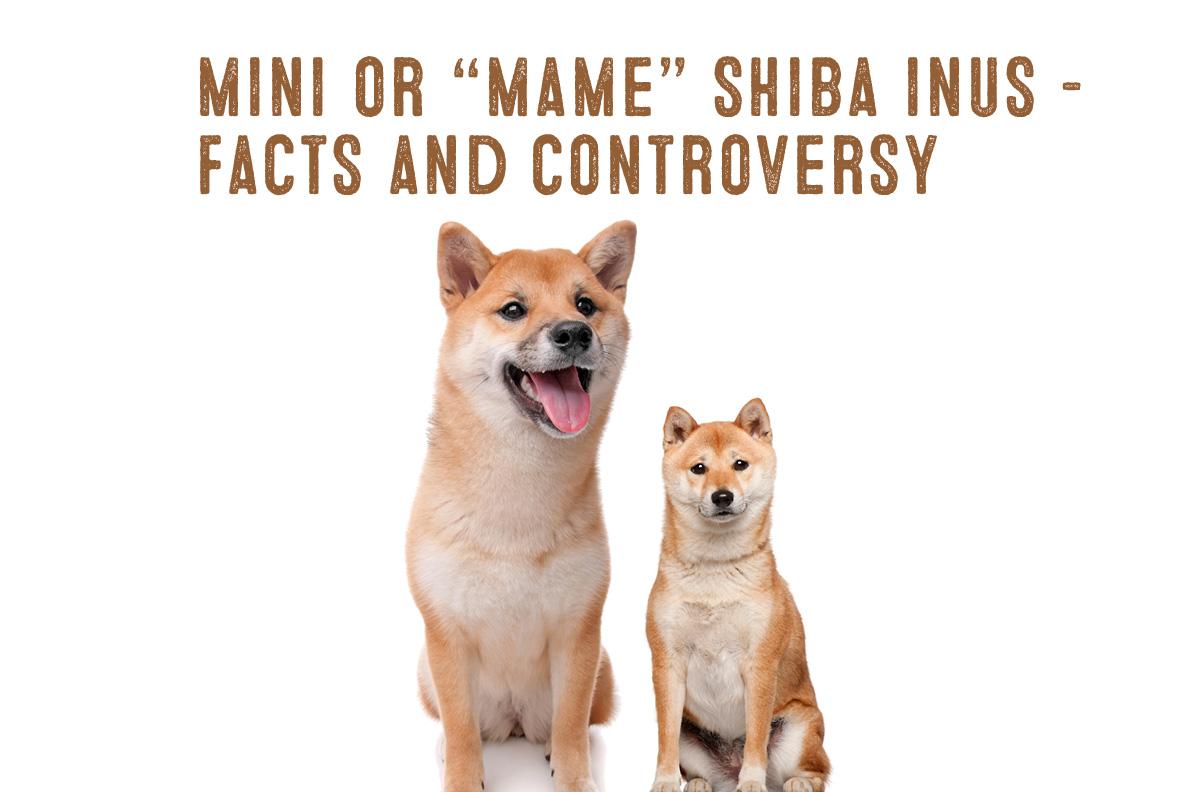Shiba Information Mini Inu Breed