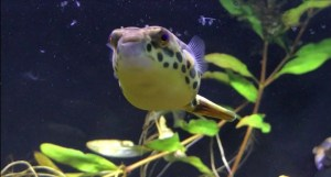 Spotted Congo Puffer