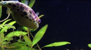 Spotted Congo Puffer: A Complete Care Guide