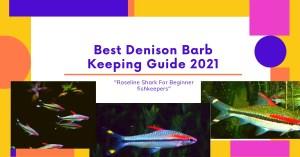 Denison Barb (Roseline Shark) : Best keeping guide 2021