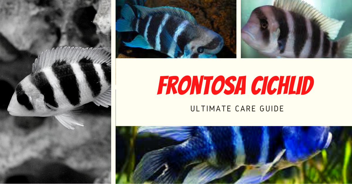 Frontosa Cichlid: Ultimate Care Guide