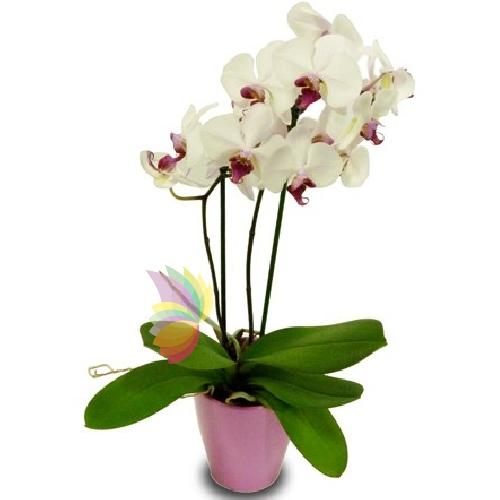 Phalaenopsis  Spediamo fiori dolci e regali a domicilio