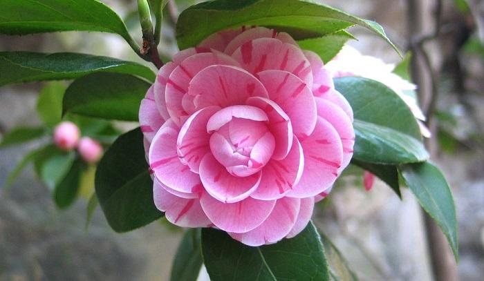 camellia flower meaning symbolism