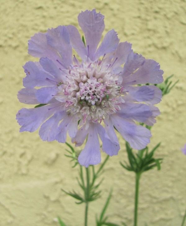 Wordless Wednesday Pincushion Flower Scabiosa caucasica