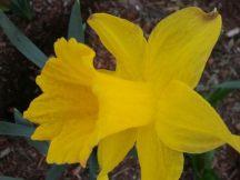 Daffodil_CloseUp