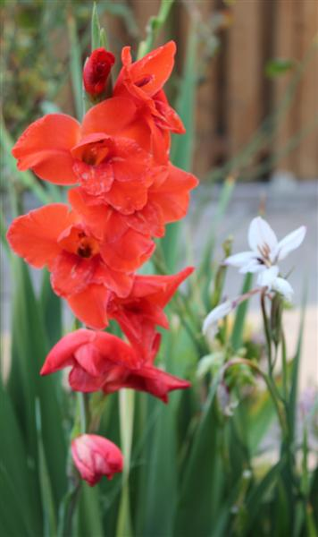 劍蘭Gladiolus (Gladiolus hybrid) | My Food And Flowers