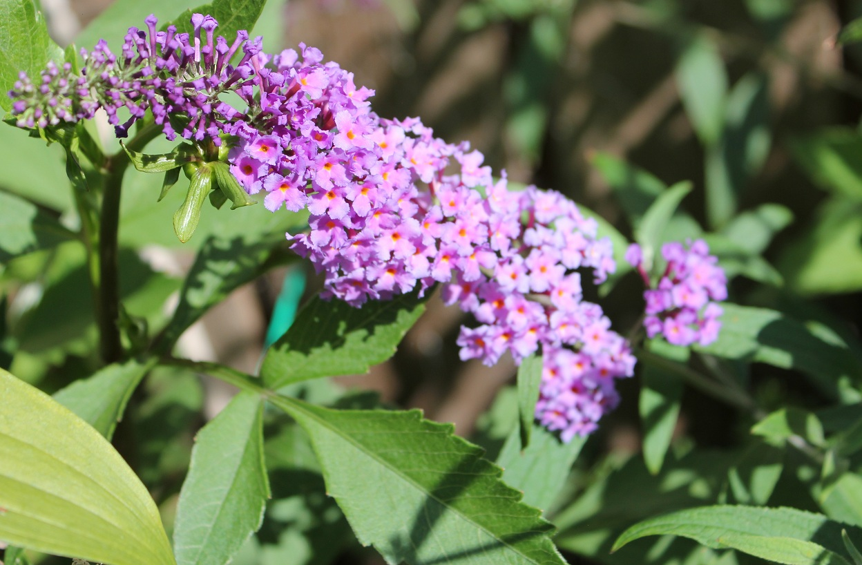 矮性大葉醉魚草Butterfly Bush (Buddleia davidii 'Nanho Blue') | My Food And Flowers