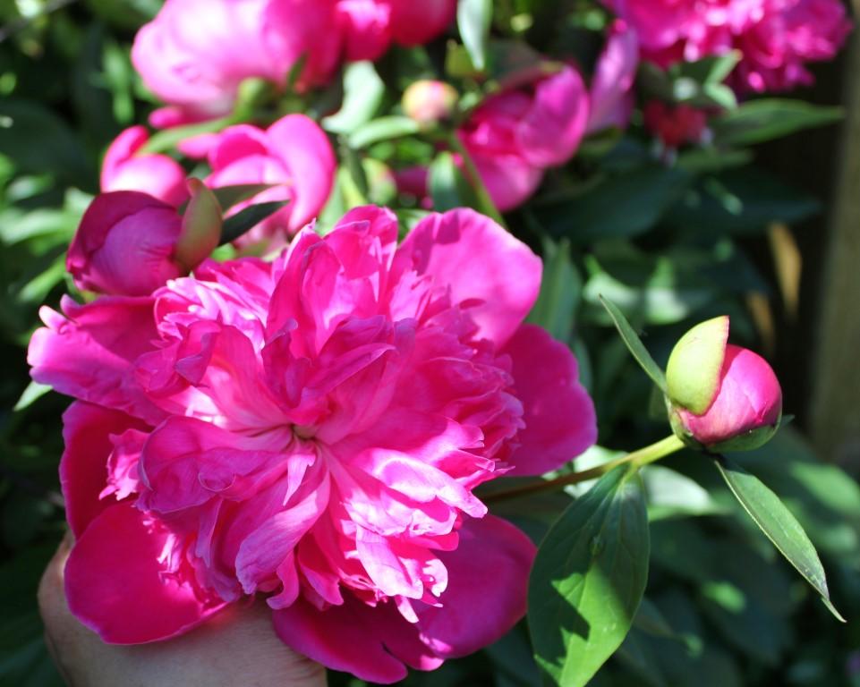 芍藥花開Garden Peonies are in bloom! | My Food And Flowers