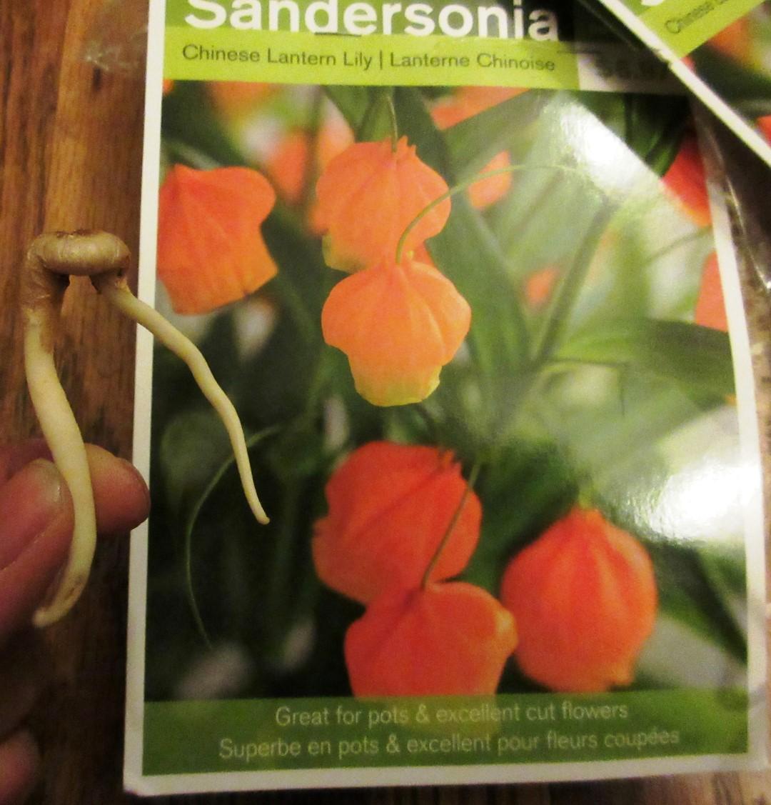 Chinese Lily Lantern or Christmas Bells (Sandersonia aurantiaca ) 宮燈百合   My Food And Flowers