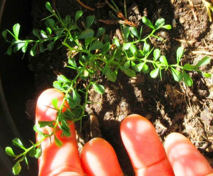 Finger Lime (Citrus australasica) 手指檸檬 | My Food And Flowers