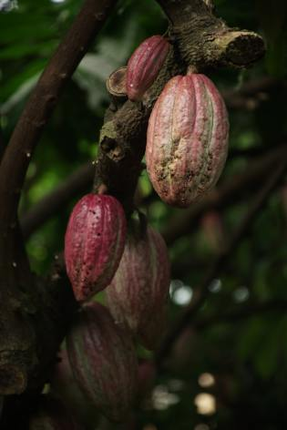 Cocoa tree. Photo by Ly Le Minh