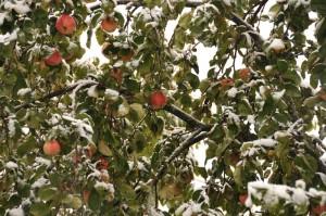 Яблоки в снегу в Петровском