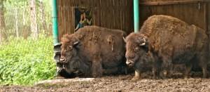 Бизон и зубр - друзья навеки