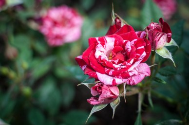 Roses in Rome 2013 (20 di 40)