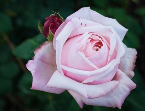 Roses in Rome 2013 (24 di 40)
