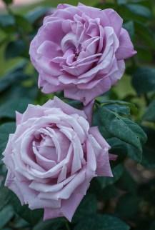 Roses in Rome 2013 (34 di 40)