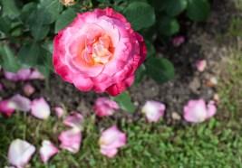 Roses in Rome 2013 (4 di 40)