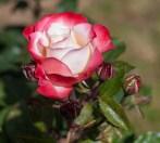 Roses in Rome 2013 (40 di 40)