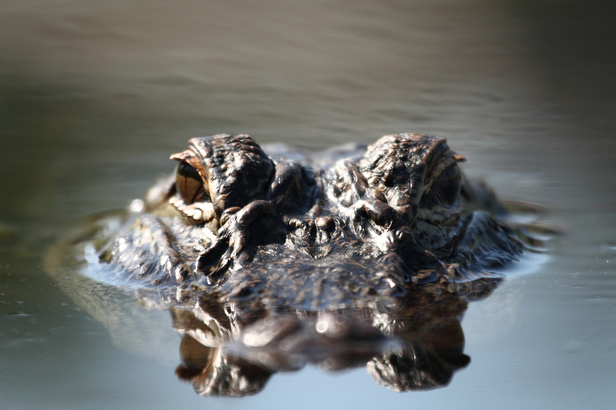 Alligator stock image (Getty Images)