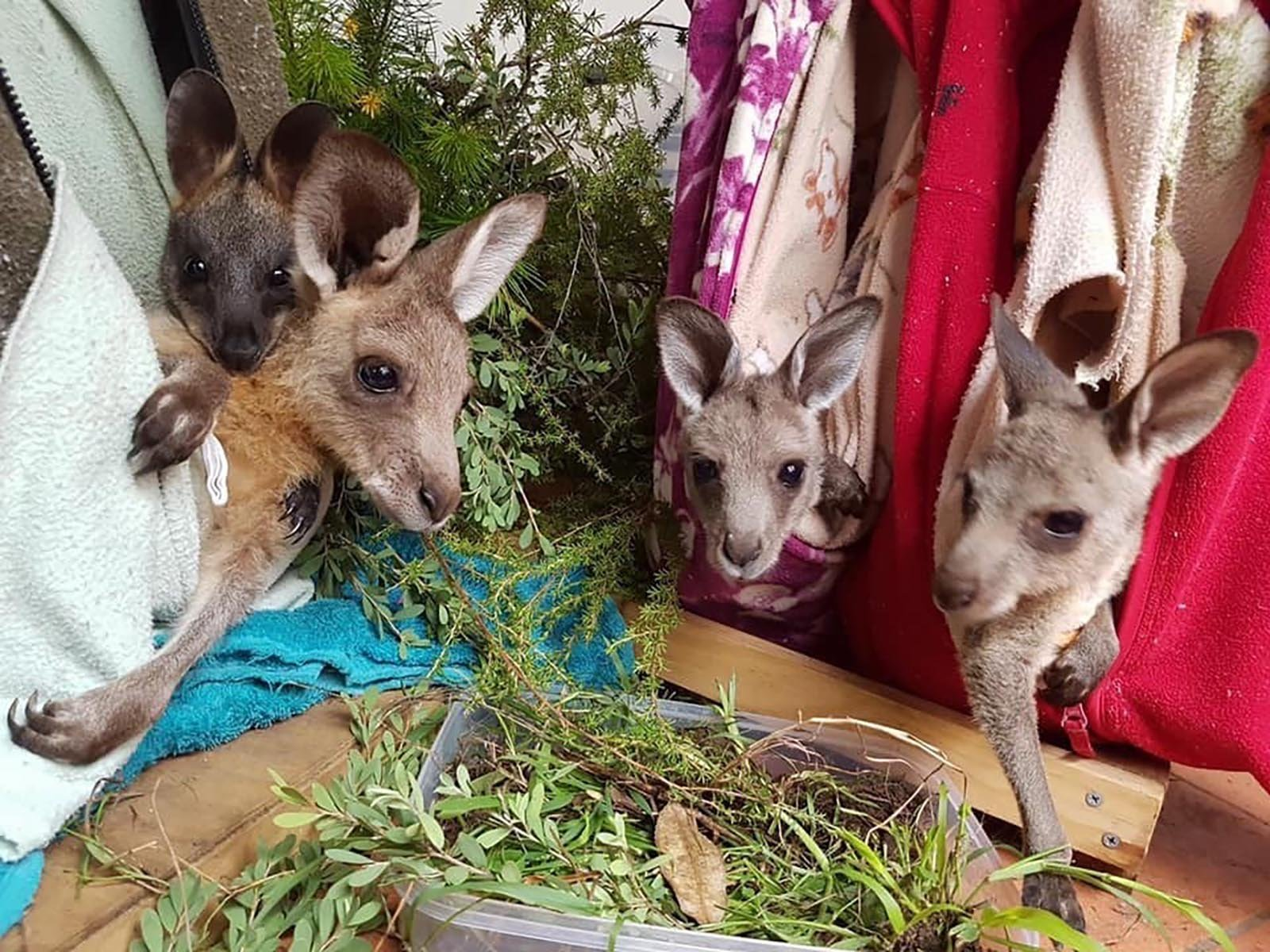 Orphaned kangaroos and koalas