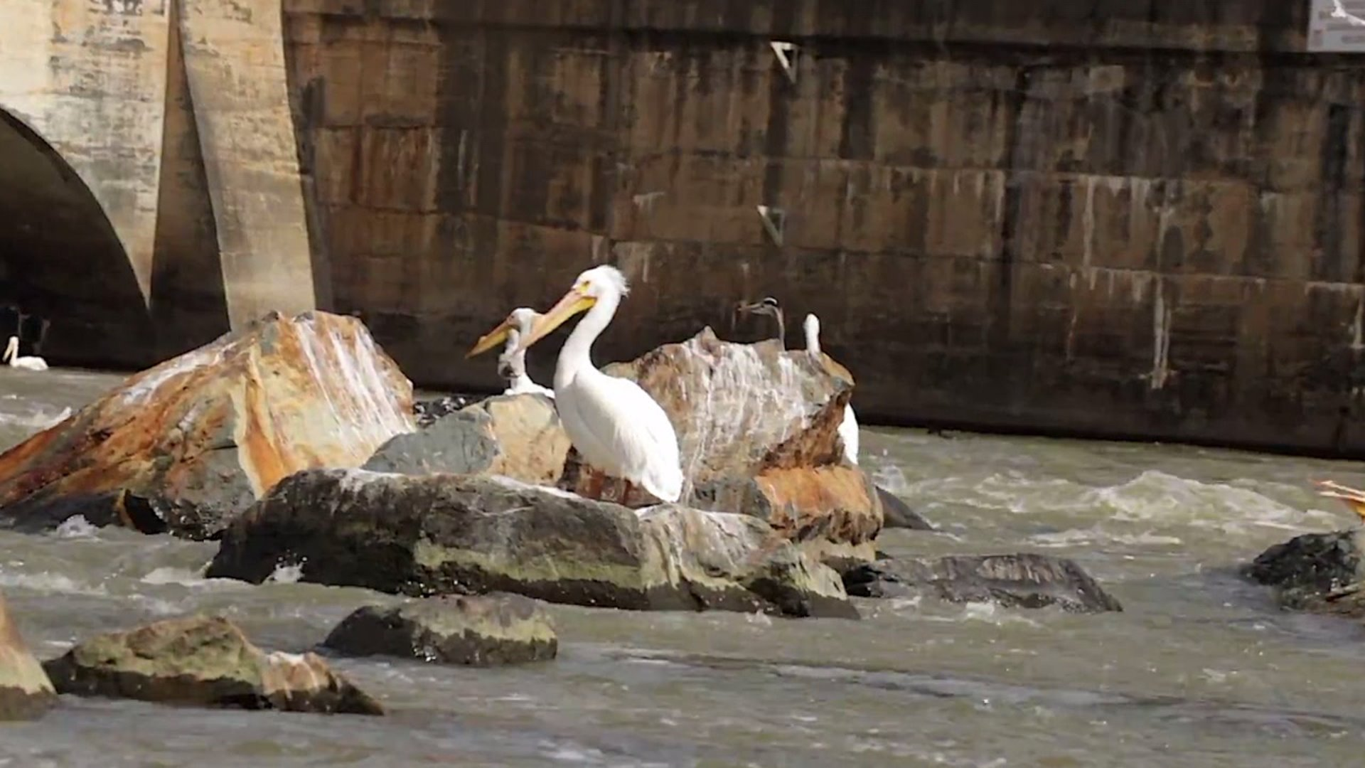 Photographer spots American white pelicans at High Rock Lake dam