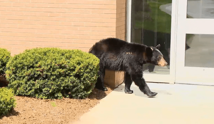 Bear in NC ignores stay-at-home order