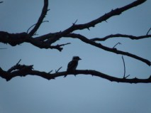 Kookaburra sits in the old gum tree