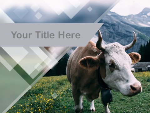 Free Cow PPT Template