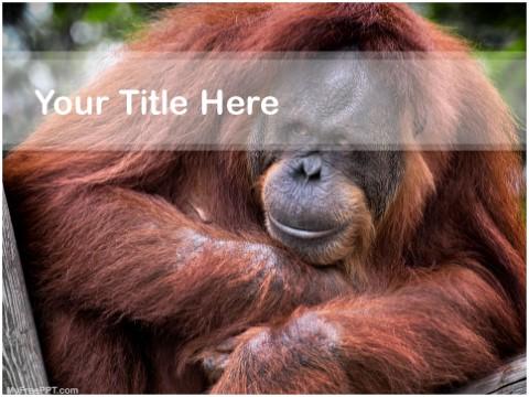 Free Orangutan PPT Template