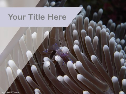 Free Sea Anemone PPT Template