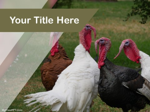 Free Turkeys PPT Template
