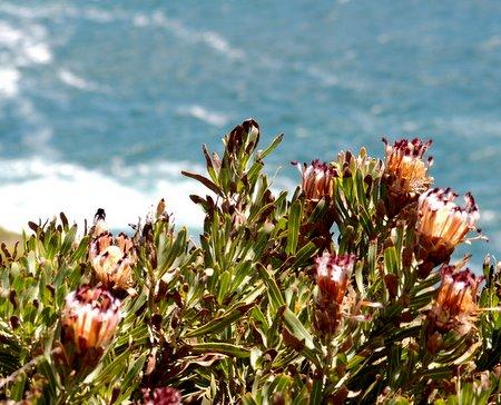 proteas.jpg